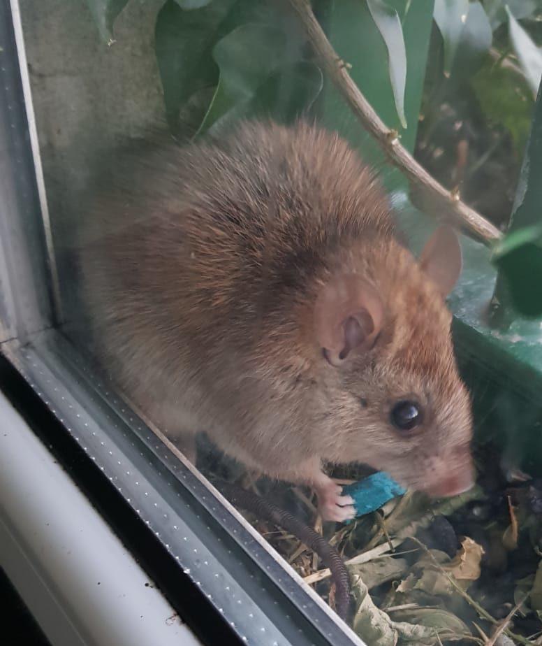 Ratto con esca
